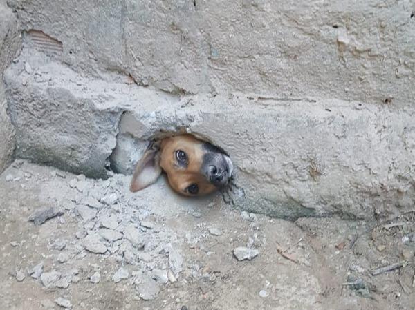 Vira-lata caramelo fica com a cabeça presa em buraco ao espiar a vizinha