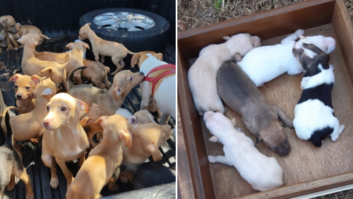 Aproximadamente 80 cães são resgatados de residência na zona Sul de Ribeirão Preto