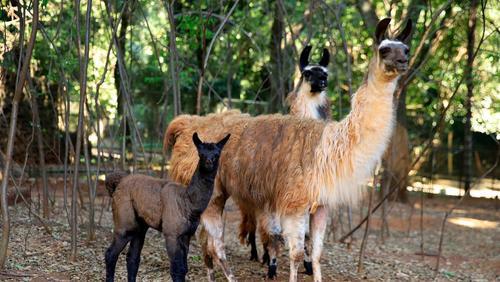 Nasce filhote de lhama no Bosque Zoo Fábio Barreto