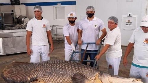 Com quase 3 metros, maior pirarucu já pescado é estudado no Amazonas