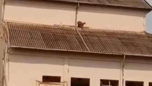 Cabra sobe em telhado de cervejaria em Ribeirão Preto