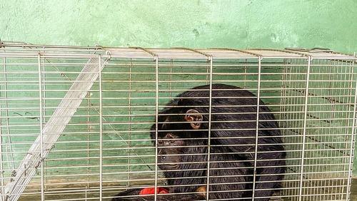 Macaco é apreendido após atacar pessoas no interior do Piauí