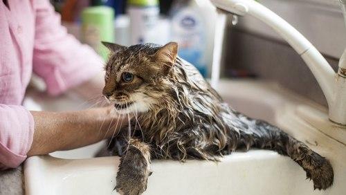 #AmigoPetMelody: Banho em gatos faz mal ou não