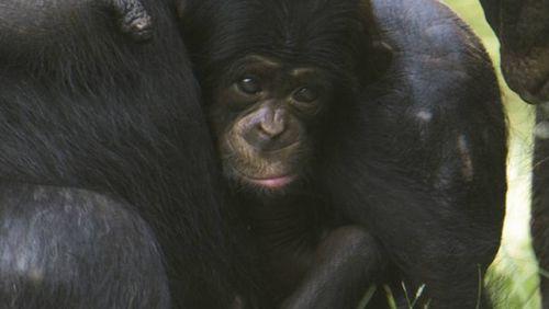 Bebê chimpanzé nasce no Zoológico de SP