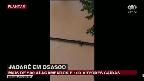 Jacaré aparece durante enchente em Osasco; assista
